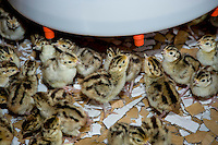 Day old French Common pheasant chicks drinking water.