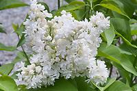 Syringa vulgaris 'Mme. Lemoine' white flowering shrub lilac bush, Madame Lemoine
