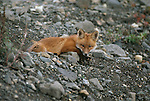 Portrait of red fox laying down.