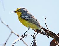 Adelaide's warbler