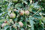 Foto: VidiPhoto<br /> <br /> DRUMPT – Fruittelers in de regio Tiel maken zaterdag de schade op na de orkaan en allesverwoestende hagelbui van vrijdagmiddag. Niet alleen zijn veel bomen beschadigd, maar zo'n 60 ha. aan hardfruit en 10 ha. aan kersen en aardbeien is volledig vernietigd. Bij de kersen was de oogst net begonnen. De Nederlandse Fruittelers Organisatie schat de schade in de Betuwe op enkele miljoenen euro's. Bij sommige telers is de complete oogst verwoest. Foto: Enorme schade aan het fruit bij Kees van Arkel in Drumpt.