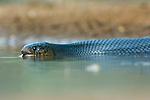 Texas, Rio Grande Valley, Santa Clara Ranch, Texas Indigo Snake
