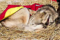 Saturday March 10, 2012 Paul Gebhardt's dogs rest at the Nulato checkpoint. Iditarod 2012.
