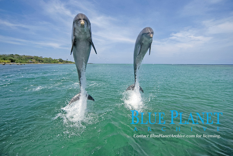 Bottle-nosed Dolphin (Tursiops truncatus), adults leaping from water, Roatan, Honduras, Central America, America, Central America