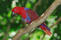 Eclectus Parrot (Eclectus roratus polychloros), adult eating, Australia