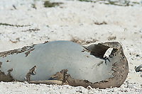 endemic Hawaiian monk seal, Neomonachus schauinslandi ( Critically Endangered Species ), resting on shore while shedding skin and fur during annual molt or molt scratches snout with flipper; East Island, French Frigate Shoals, Papahanaumokuakea Marine National Monument, Northwest Hawaiian Islands, USA ( Central Pacific Ocean )