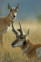 Pronghorn Antelope (Antilocapra americana).  Western U.S., fall..