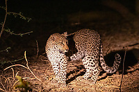 africa, Zambia, South Luangwa National Park,  leopard at night