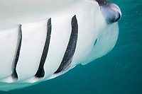 reef manta ray, Mobula alfredi, feeding, with open gill slits, showing gill plates through which plankton is filtered (and which also draw oxygen from the water for respiration), Hanifaru Bay, Baa Atoll, Maldives, Indian Ocean