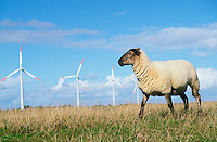 DEUTSCHLAND Schleswig-Holstein, Schaf auf Deich und AN-Bonus Windräder des Windparks auf Eco Island Pellworm ,  AN-Bonus gehoert heute zur Siemens Gruppe / Germany, North Sea eco island Pellworm, sheep and AN Bonus wind turbines