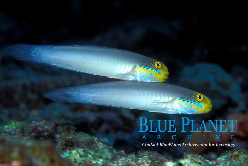 Bluestreak goby, Valennea strigata, Gobies - Gobiidae, small, elongated bottom dwellers fish small reef fish, Tropical ocean coral reef, bottom dweller, Indo Pacific Ocean,