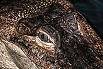 american alligator close-up of eye