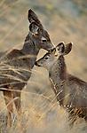 A doe mule deer grooms her fawn in Montana.