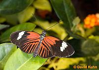 0101-0913  Elevatus Butterfly, Heliconius elevatus, Amazon © David Kuhn/Dwight Kuhn Photography