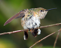 Adult female calliope hummingbird stretching