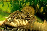 1Y06-047a  Crayfish -  preparing to eat dead crayfish