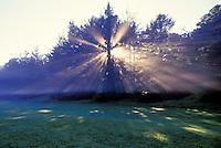 Redwoods, Kokee State park sunrise, Kanaloahuluhulu meadow fronting Kokee Museum, Kokee State Park