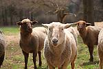 Border Leicester sheep, Steam Valley Fiber Farm