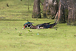 Louisiana, near Vacherie, Wood Duck