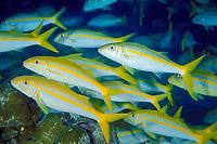 Mexican goatfish, Mulloidichthys dentatus, schooling, Cocos Island, Costa Rica, Pacific Ocean