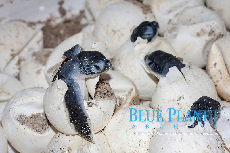 green sea turtle, Chelonia mydas, hatchling, Chichi-jima, Bonin Islands, Ogasawara Islands, UNESCO World Heritage Site,  Tokyo, Japan, Pacific Ocean