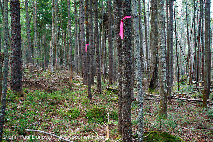 Pink flagging marks a forest project in a softwood forest of the White Moutnains, New Hampshire USA
