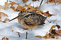 01262-017.12 American Woodcock in poor condition is perched on the snow during a prolonged cold spell.  Hunt, survive, migrate, starve. H7L1