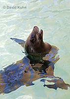 0406-1003  California Sea Lion Barking While Swimming, Zalophus californianus  © David Kuhn/Dwight Kuhn Photography.
