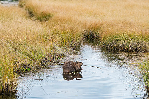 North American Beaver (Castor canadensis) eating along edge of pond.  Northern Rockies,  Fall.  One can see the canal the beaver have made between the two ponds in the marsh grass behind the beaver.