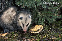 1R07-058z  Eastern Box Turtle - with opossum - Terrapene carolina