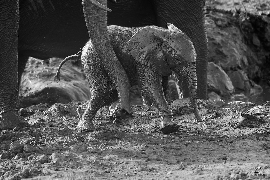 Mother Elephant provides a little guidance to her exuberant and extremely muddy calf. It's difficult to convey the happiness and contentment Elephants display when they encounter a water hole and mud wallow in a hot, dry area