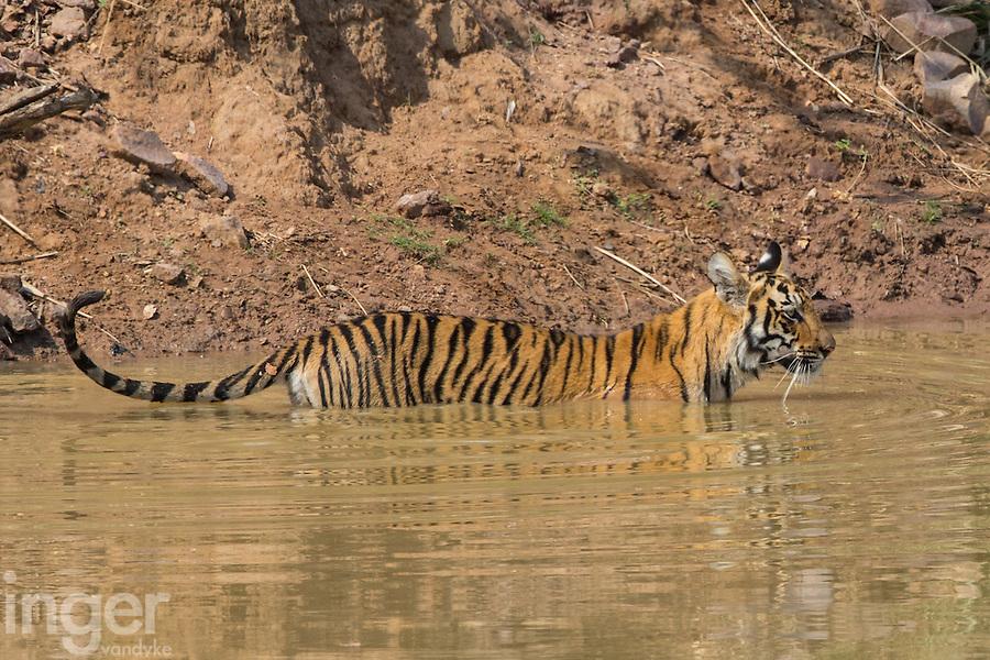 Tigers in Tadoba Andhari Tiger Reserve, Maharashtra, India