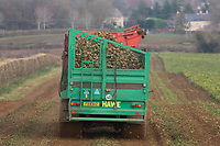 23.11.2020  A contractor lifting sugar beet in Rutland <br /> ©Tim Scrivener Photographer 07850 303986<br />      ....Covering Agriculture In The UK....