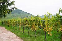 muscat vineyard domaine faller weinbach kaysersberg alsace france