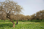 Israel, Acacia Albida trees by Tel Shimron on the borderline of Jezreel Valley and the Lower Galilee.