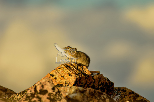 """American pika (Ochotona princeps) making a warning/territorial call--high pitched """"peeka"""" sound.  Beartooth Mountains, Wyoming/Montana border.  Sept.  This photo was taken in alpine setting at around 11,000 feet (3350 meters) elevation."""