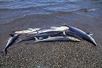 blue sharks, Prionace glauca, Mexican shark fishery, Isla Magdalena, Baja, Mexico, Pacific Ocean
