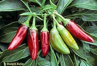 HS41-250x  Pepper - hot pepper - Jalapeno variety