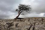 Lone tree on Limestone pavement, Yorkshire Dales National Park, UK
