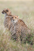 Brother (front) and sister Cheetah cubs