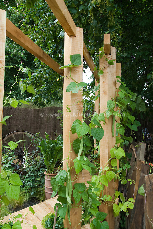 Beans Phaseolus vulgaris Hunter climbing on sturdy wooden trellis pole, with ripe vegetables, leaves and vines visible closeup. Vertical growing.
