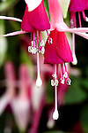 The color Fuchsia, a reddish or pinkish purple color is actuall named after the flowers of the Fuchsia plant.  Fuchsia are shrubs commonly used as house plants  the majority being native to South America.