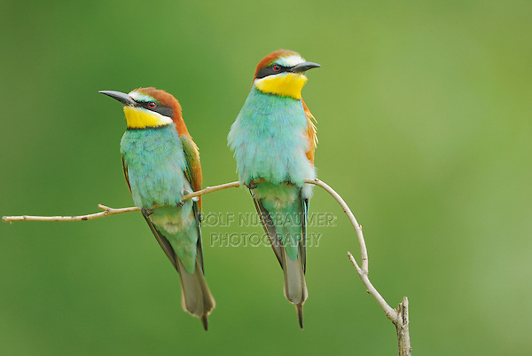 European Bee-eater (Merops apiaster),adults perched, Hungary, Europe