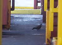 Oriental Turtle Dove Aboard the ship 5/15/15