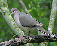 Adult white-tipped dove