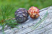 Zirbel-Kiefer, Zirbelkiefer, Zirbel, Zirbe, Arve, Zapfen, Zirbenzapfen, Nadel, Nadeln, Pinus cembra, Arolla Pine, Swiss pine, Swiss Stone Pine, Austrian stone pine, Stone pine, cone, cones, Le pin cembro, le pin des Alpes, l'arol, l'arole, l'arolle, l'arve, l'auvier, le pin arolle, le tinier. der rechte Zapfen wurde von einem Tannenhäher aufgehackt, Tannen-Häher, Nucifraga caryocatactes, Nutcracker, spotted nutcracker, Eurasian nutcracker, le Cassenoix moucheté