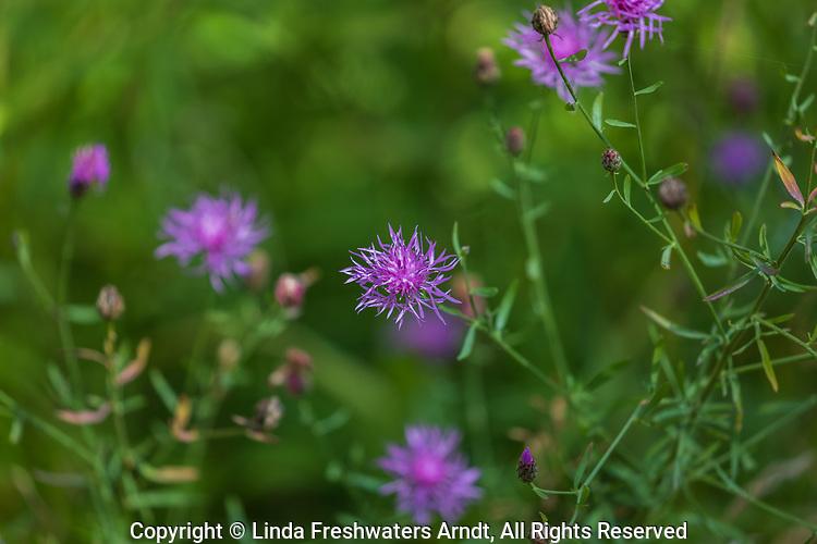 Brown knapweed growing in northern Wisconsin.