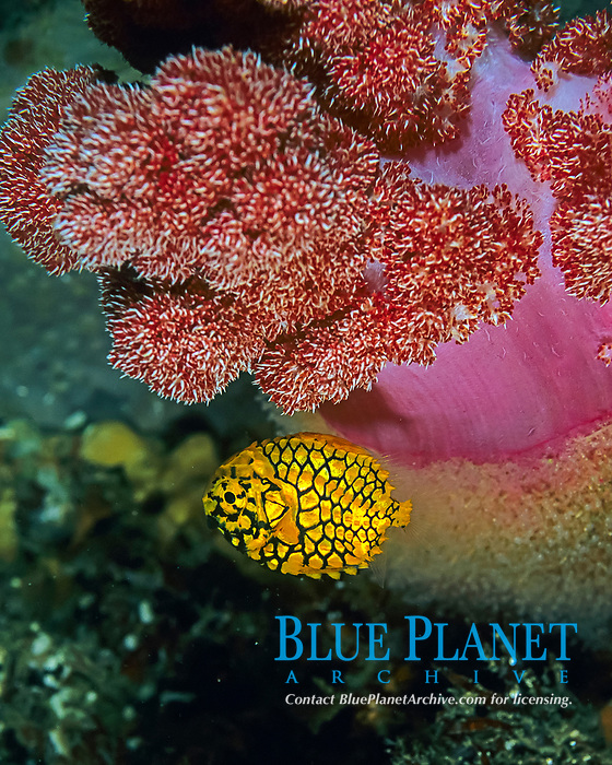 Pinecone fish?, Monocentris japonica, soft coral, Dendronephthya sp. Futo, Sagami bay, Izu peninsula, Shizuoka, Japan, Pacific Ocean