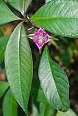 Mato Grosso State, Brazil. Aldeia Metuktire. Purple psycotria sp. flower.