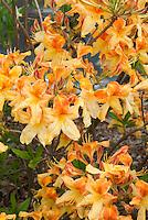 Rhododendron (Azalea) Gibraltar orange yellow